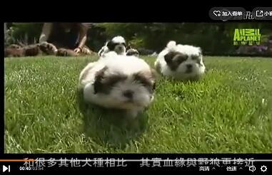 西施犬视频:西施犬纪录片在线观看