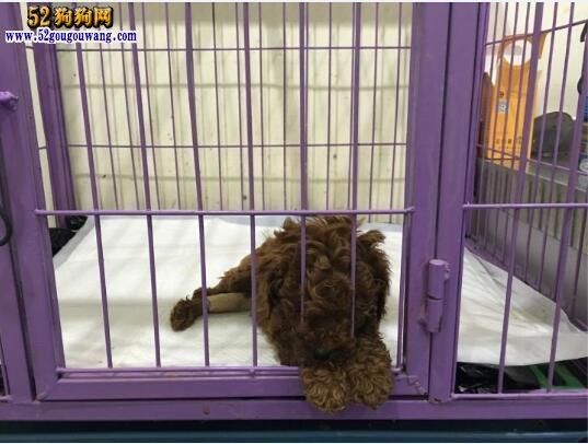 养泰迪犬是一种怎样的体验