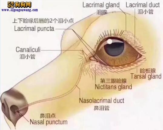 比熊犬泪痕:比熊犬泪痕的产生原因及处理方法?