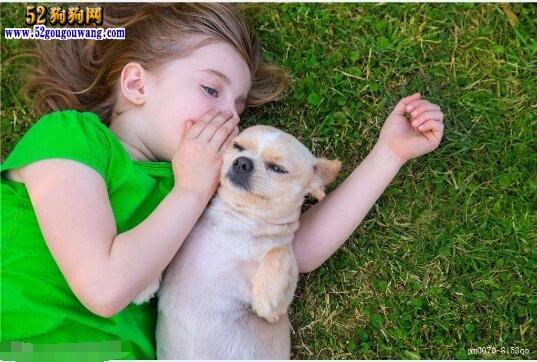 养吉娃娃狗是一种怎样的体验