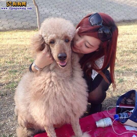 养贵宾犬是一种怎样的体验
