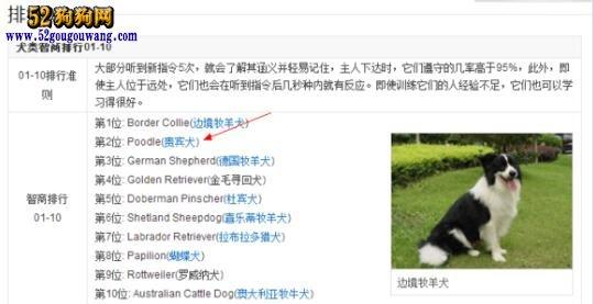 贵宾犬聪明吗?贵宾犬智商测试排名第二位!