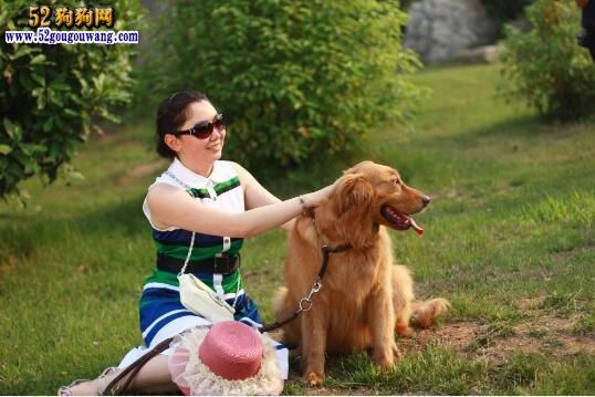养金毛犬是一种怎样的体验?