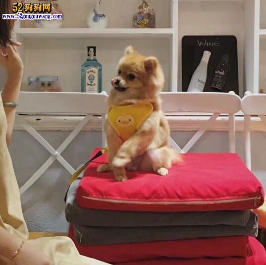 养博美犬是一种怎样的体验?