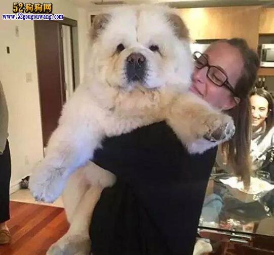 养松狮犬是一种怎样的体验?