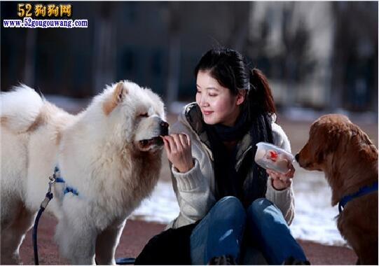 松狮犬日常饲养和训练方法