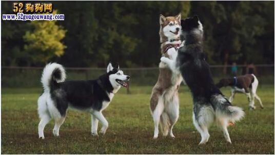 哈士奇犬介绍