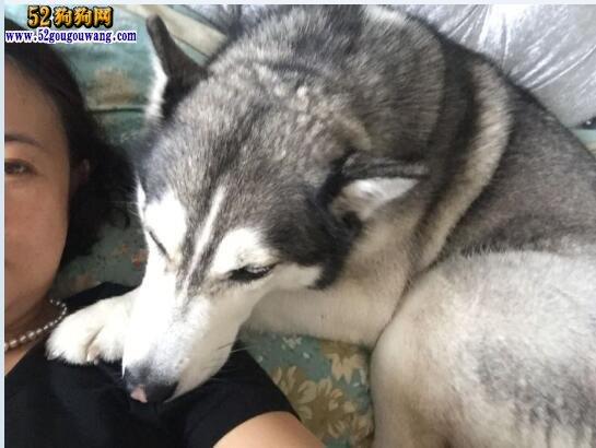 养哈士奇犬是一种怎样的体验