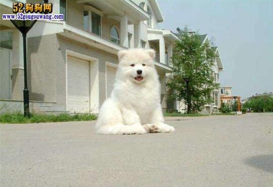 萨摩耶幼犬饲养方法