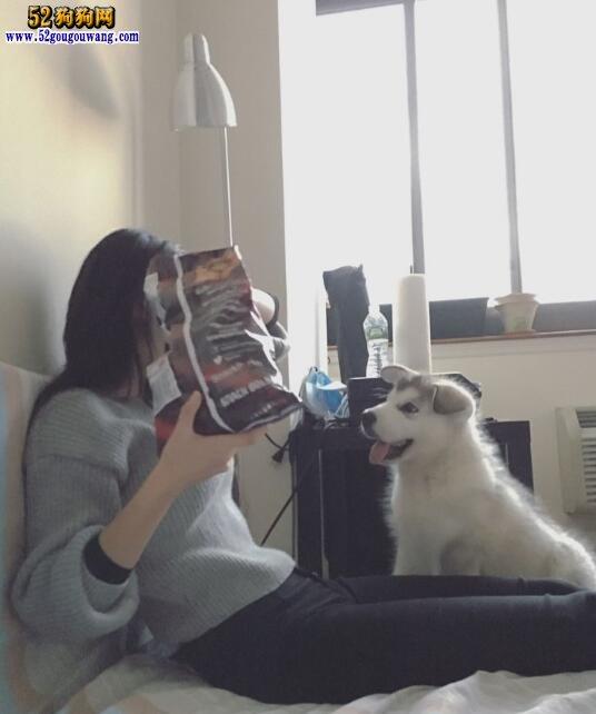 养阿拉斯加犬是一种怎样的体验