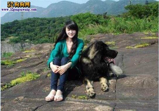 养高加索犬是一种怎样的体验?