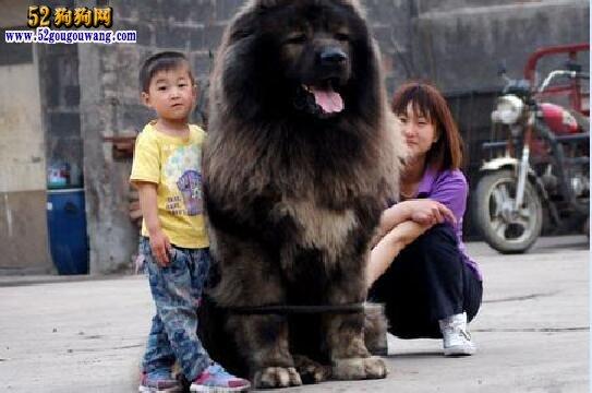 高加索巨型犬 巨型高加索犬有多大?