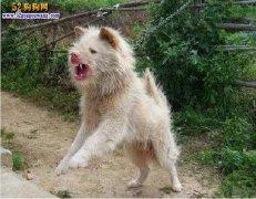 爱狗人士不能不知的:中国四大土