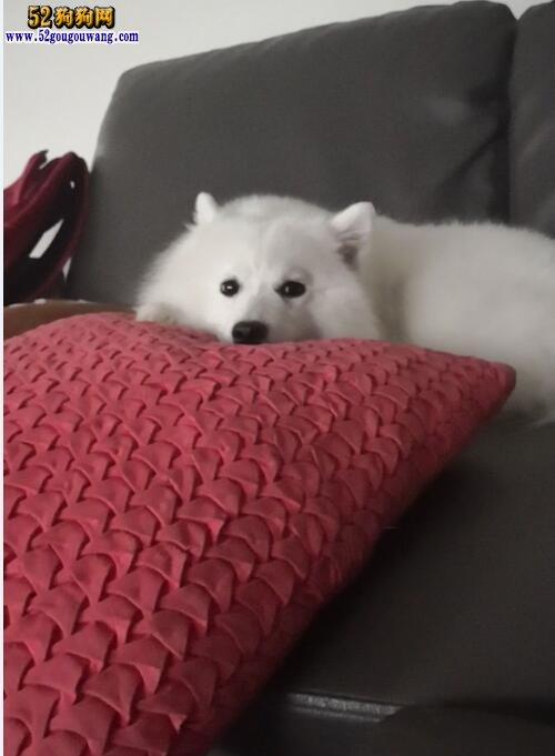 养银狐犬是一种怎样的体验
