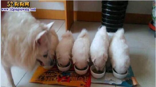 小银狐犬价格