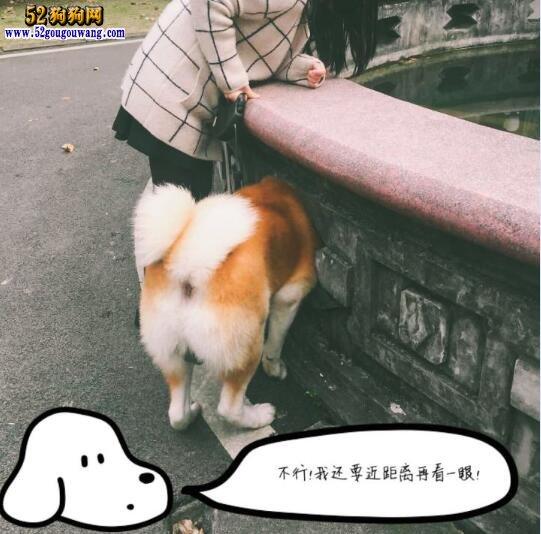 养秋田犬是一种怎样的体验