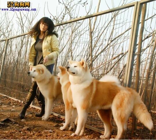 秋田犬纯种多少钱?