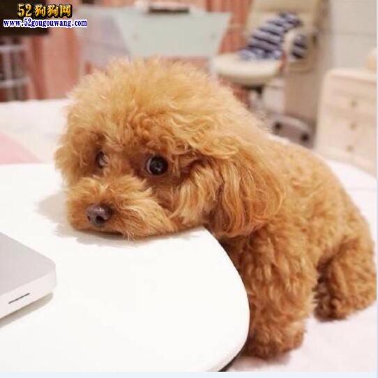 怎么给泰迪犬洗澡,冬季泰迪犬洗澡注意事项