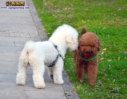 泰迪犬可以活多少年