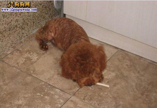 夏季泰迪犬饲养问题