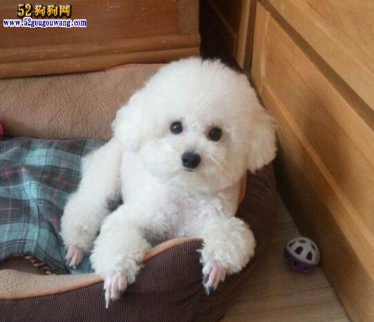 茶杯狗黑色_白色泰迪犬价格 白色泰迪犬多少钱-泰迪犬-52狗狗网