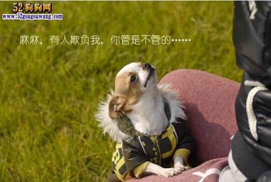 吉娃娃狗各种叫声表达的意思