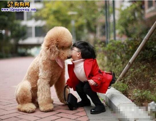 贵宾犬的性格特点适合我养吗