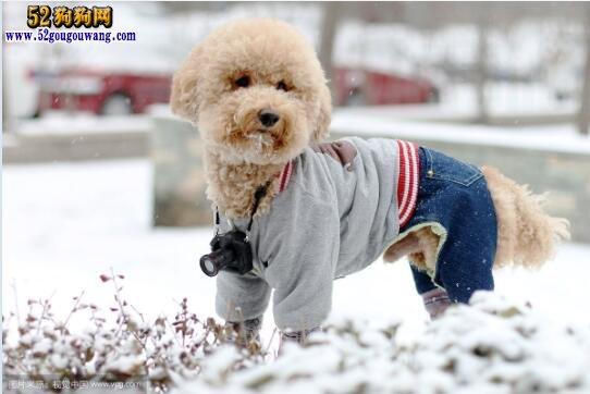 贵宾犬冬天如何养护及注意事项