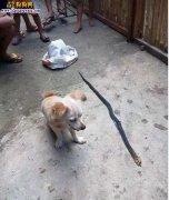 狗狗咬死毒蛇后笑着向主人邀功,