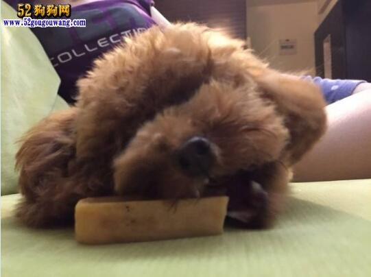 贵宾犬能吃主人吃的米饭吗