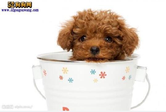 茶杯贵宾犬价格 茶杯贵宾犬多少钱?