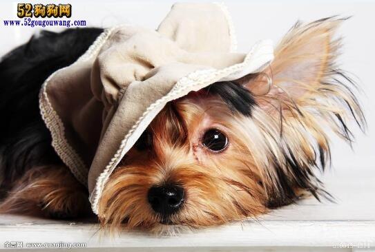 约克夏犬聪明吗,约克夏犬的智商多高