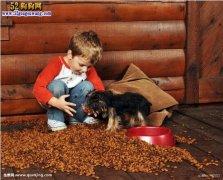 约克夏犬的价格,约克夏犬多少钱一只