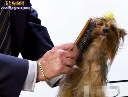 约克夏犬的毛发怎么梳理