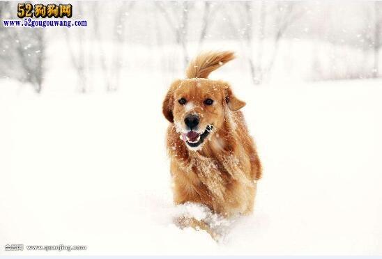 冬天金毛犬如何饲养,需要注意什么?