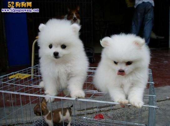 博美犬的价格,博美犬多少钱一只
