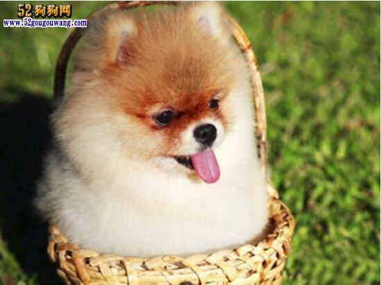 博美犬怎么样好养吗