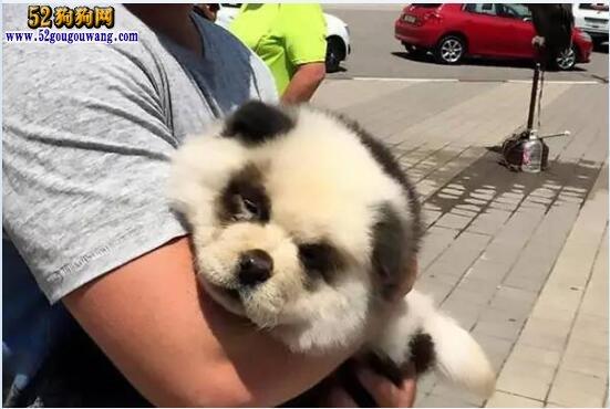 松狮犬的毛发日常护理知识