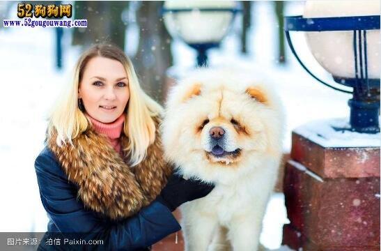松狮冬天怎么护理 松狮犬冬季注意事项