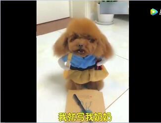 狗狗视频:人摸狗样的泰迪犬和主人对话,太搞笑了!