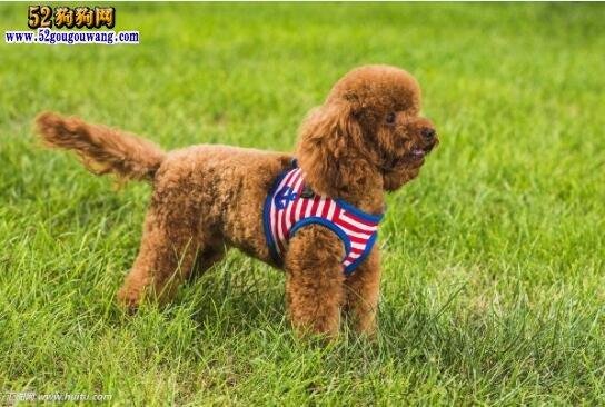 泰迪犬价格:现在泰迪犬价格多少钱一只?