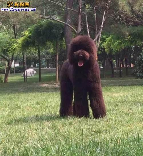 巨型泰迪犬价格:巨型泰迪犬多少钱一只?