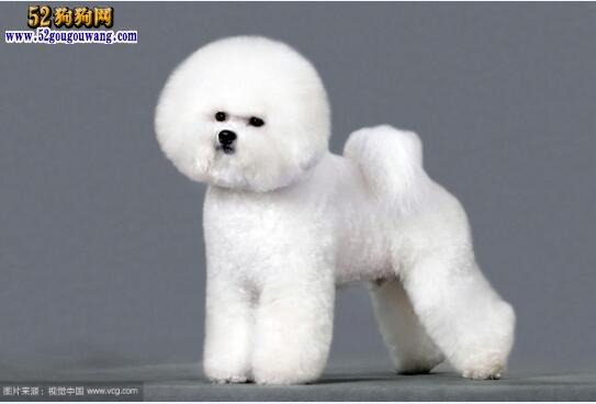 纯种比熊犬:怎么看比熊犬是不是纯种?