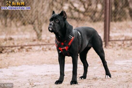 公认服从性最好的七大犬种,看看哪种更适合你饲养!