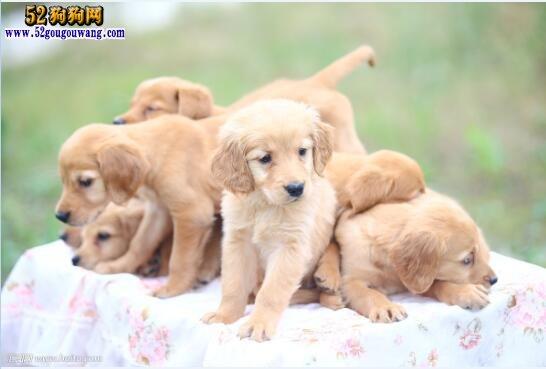 金毛犬价格:现在金毛犬的价格行情是多少?
