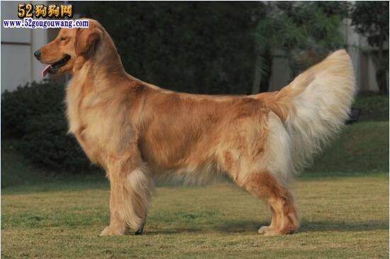 金毛犬怎么看纯不纯?
