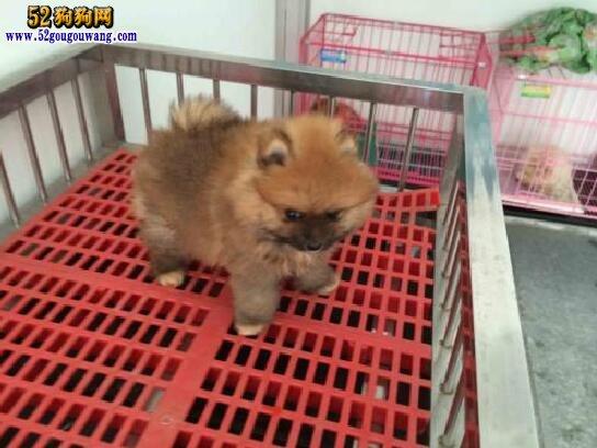 博美犬多少钱一只?