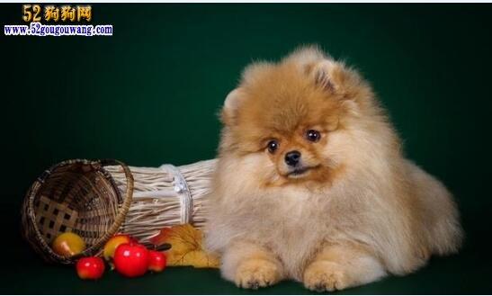 博美犬好养吗?