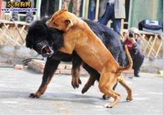 土佐犬vs比特犬:都是世界级猛犬