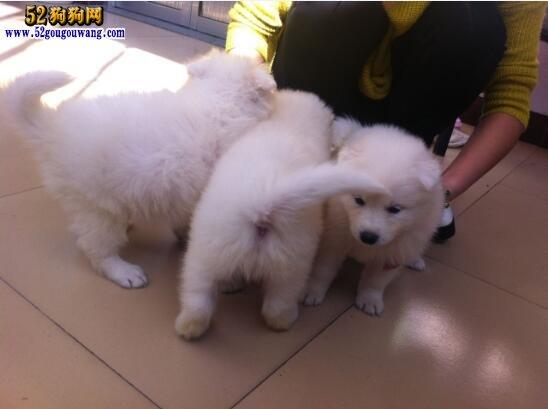 萨摩耶犬多少钱一只?